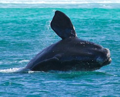 Eyre Peninsula Whale Watching Cruise