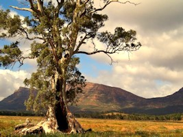 Cazneaux's Tree Flinders Ranges