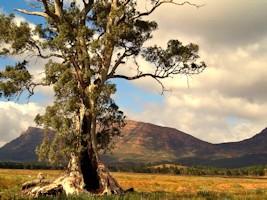 Cazneaux Tree Flinders