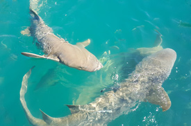 Sharks at Horizontal Falls