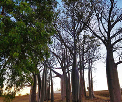 Boab Trees at Lily Lagoon Kununurra