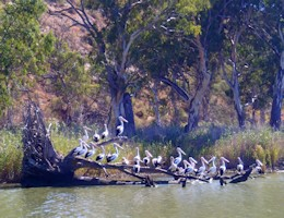 Murray River Bird Life