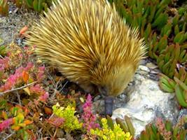Kangaroo Island Echidna