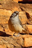 Flinders Ranges Bird Watching