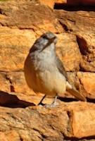 Flinders Ranges Bird Watching