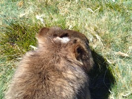 Wombats in the Wild